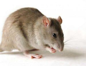 صوت الفأر