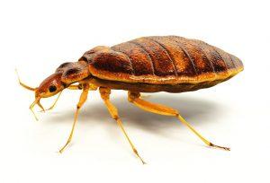 حشرات صغيرة جدا في الفراش