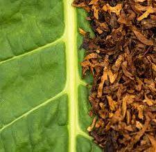 Photo of كيف تصنع السجائر