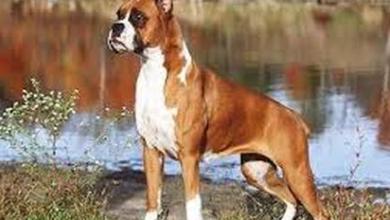 Photo of كلب البوكسر