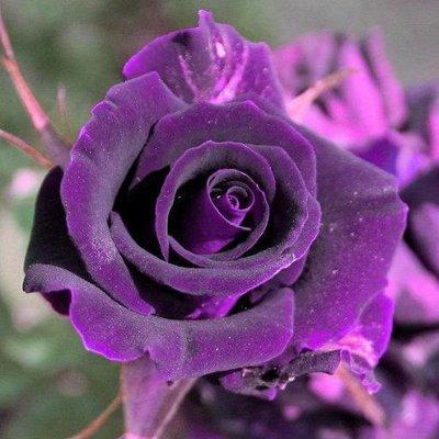 معنى اللون البنفسجي في الورد ابجديه Abjadih