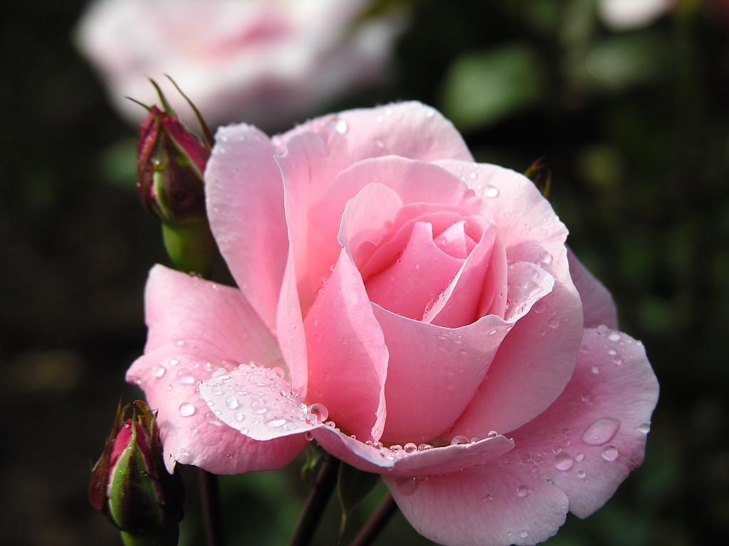 معنى الورد الوردي